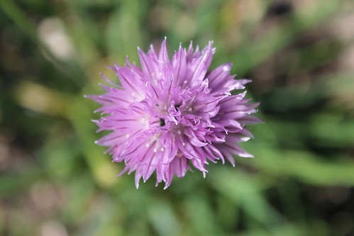 Chive flower top down