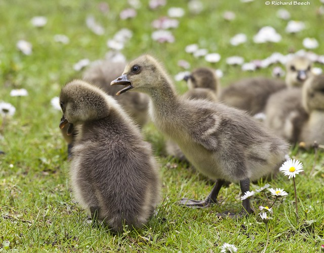 Angry Gosling