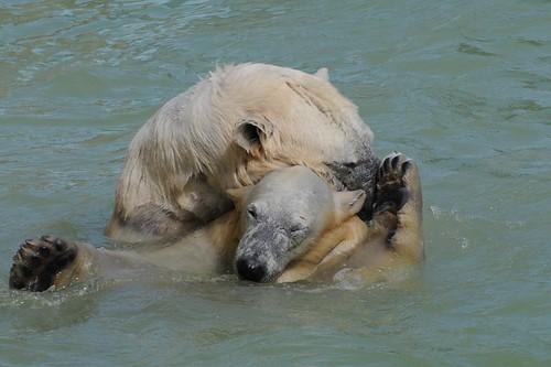 Eisbären Blanche und Qannik in der Monde Sauvage Safari in Aywaille