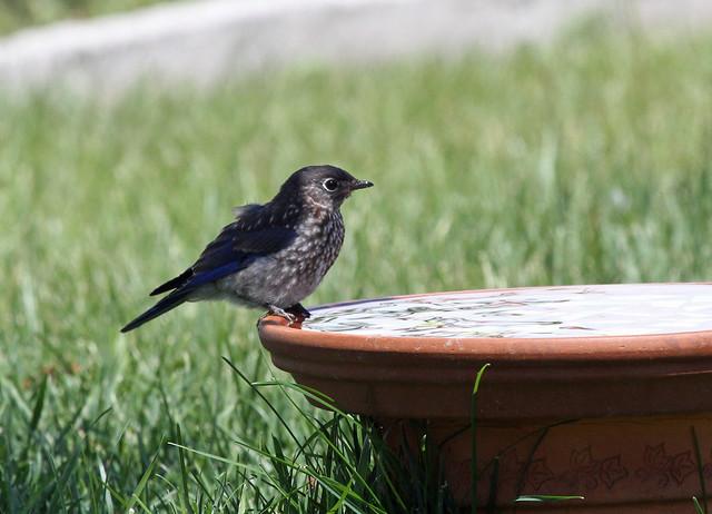 Baby bluebird contemplating a bath