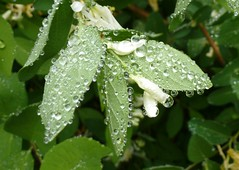 Rain on leaves and blossoms