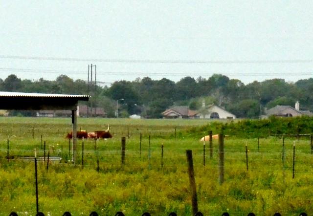 Cows at NASA
