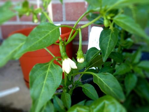 hot pepper blossoms