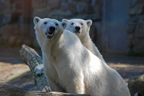 Eisbären Freedom und Sesi  im Ouwehands Dierenpark in Rhenen