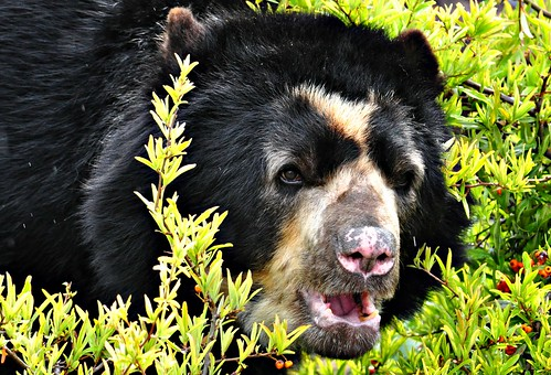 Spectacled bear in the rain