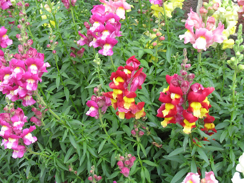 Snapdragon variety