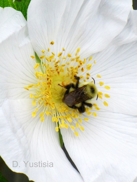 The Bee Inside the Rose