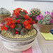 Rebutia and other Cacti