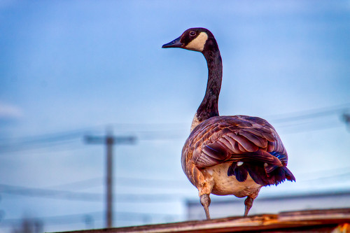 Goose On A Hot Tin Roof