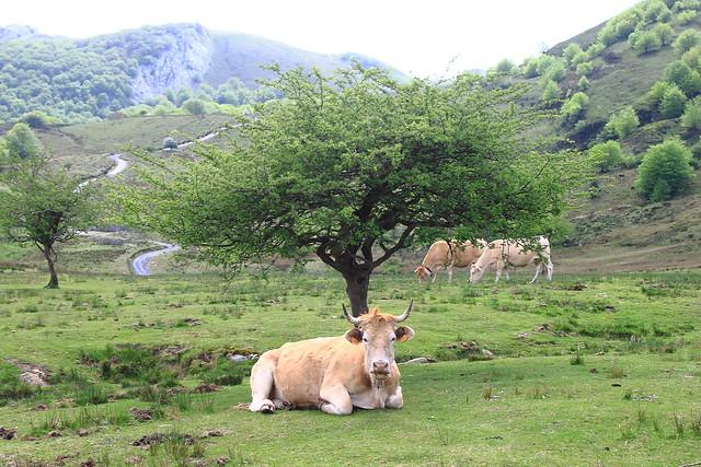 Vacas #Photography #Flickr #Foto  48