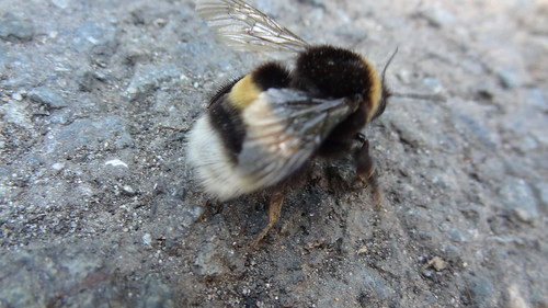Buff-tailed Bumblebee by bill kralovec