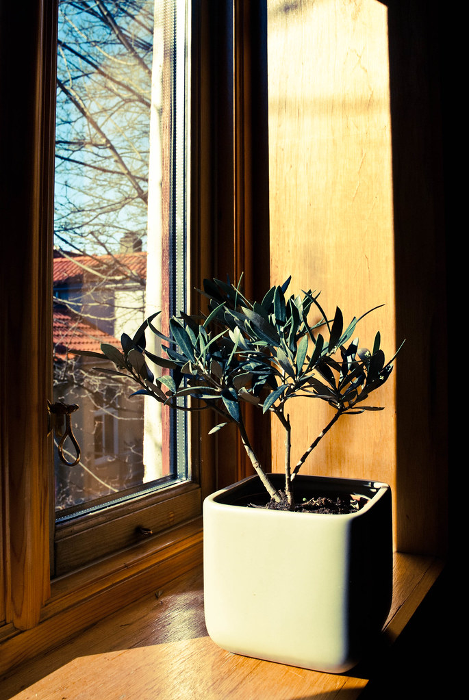 Bergen - Sunny Olive Tree