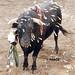 Toro y dardos