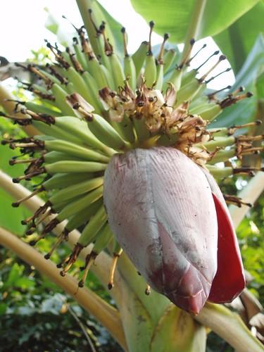 201202210330_banana-flower
