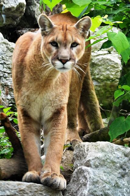 Curious Cougar