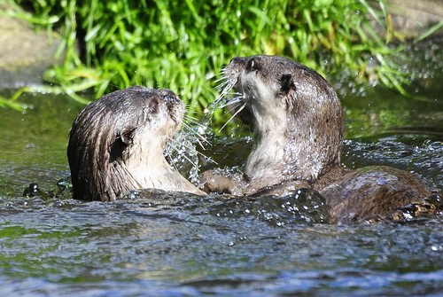 two otters playing in water