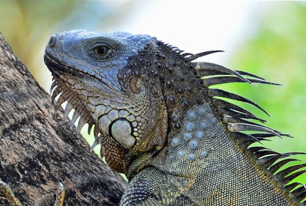 Iguana Puerto Rico Iguana is an herbivorous genus of