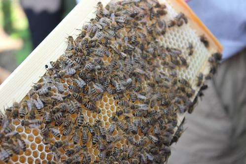 Bees etc 024