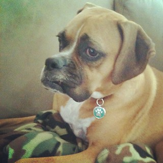 Cuddled up with her snuggie. #jadetheboxer still not feeling 100% (but she's cute!)