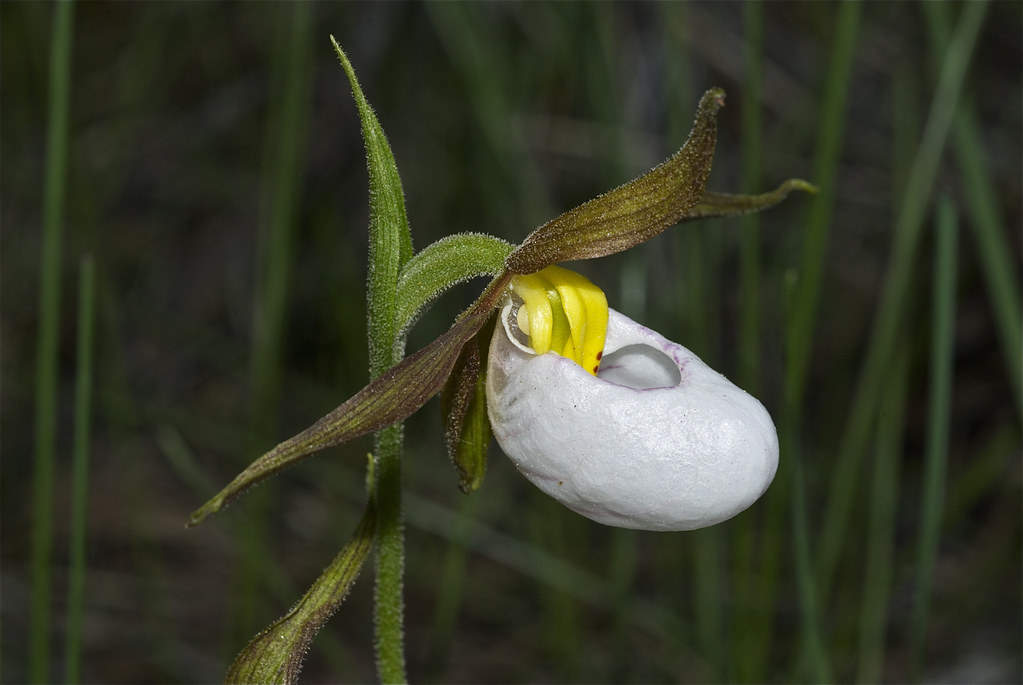 Mountain Lady's slipper