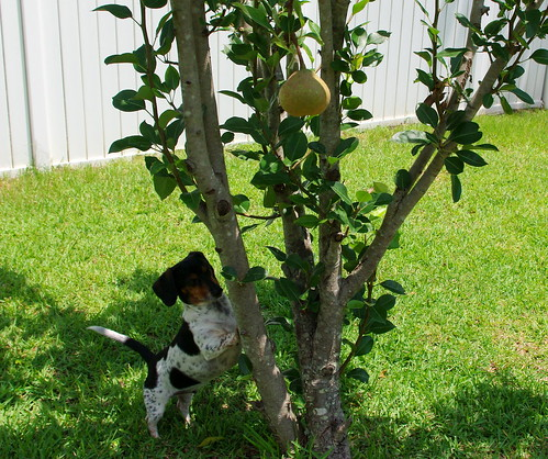 Jack and the pear tree