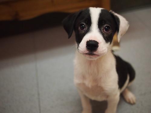 Hound mix Puppies