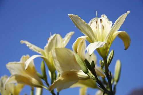 daylilies by aimeesblog
