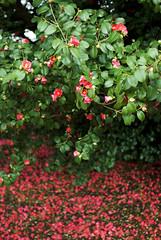 Blütenpracht in Pillnitz