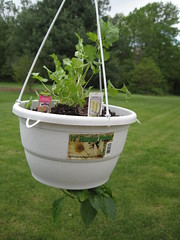 Cilantro and Cubanelle Pepper Planter