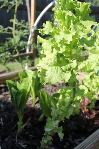 20120609. Well-loved lettuce.