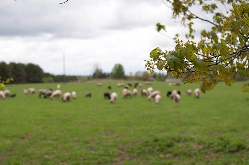 Kääriku talu lambad.