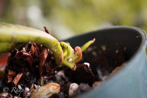 Cobra lily (Darlingtonia californica)