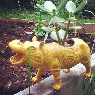 Hippo plant