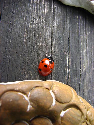 ladybird checks out owl