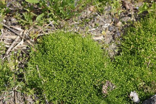 volunteer irish moss
