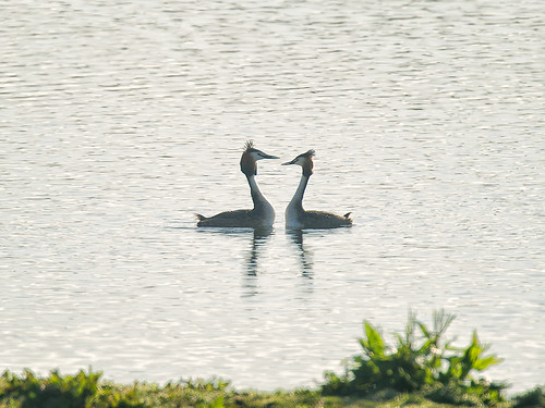 Great Crested Grebe - pair
