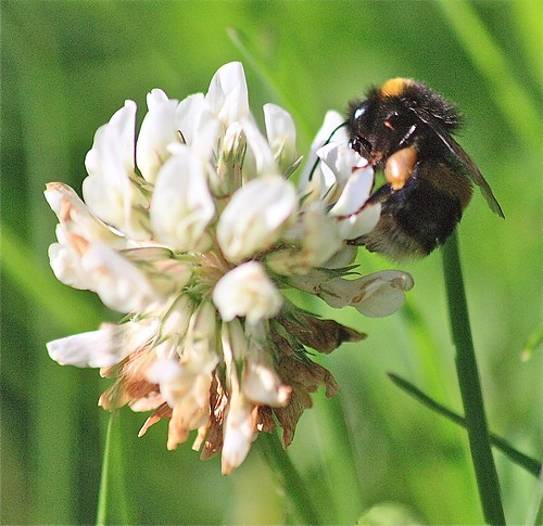 Bee on white clover, Ouseburn. © Janet E Davis 2012 JED2_H300_021794