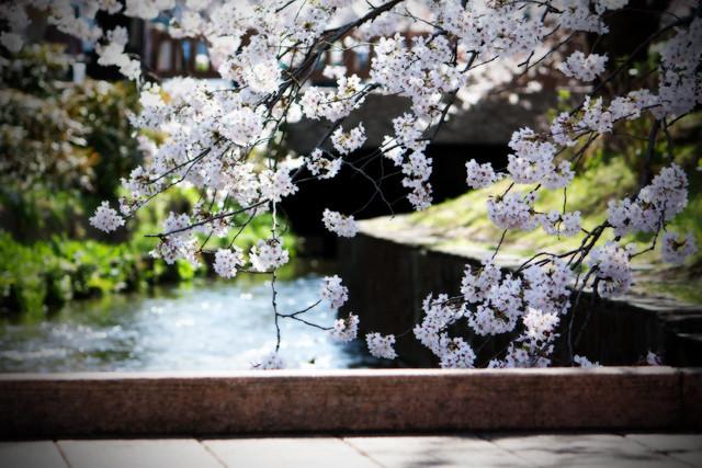 Sakura (1/6)