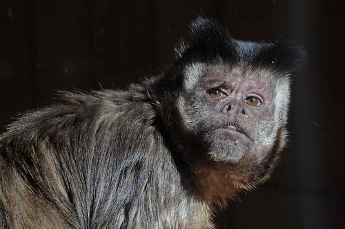 Gehaubter Kapuziner im Zoo in der Wingst