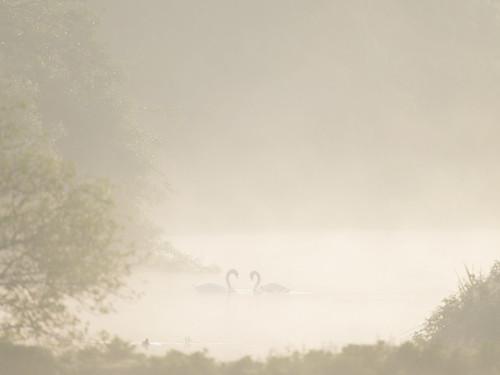 Swans-misty morning