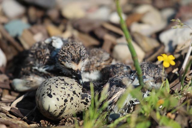 05/18/12 - Killdeer babies hatching