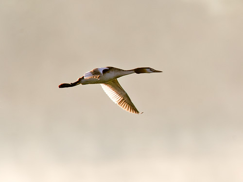 Great Crested Grebe - in flight