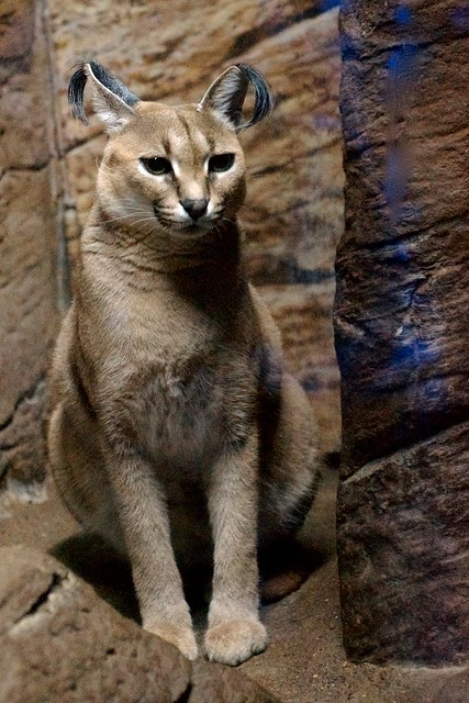 Sitting Caracal