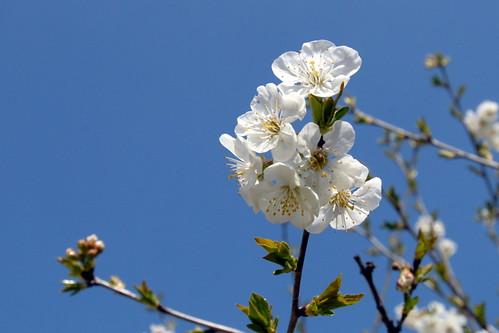 Arbres en fleurs HD-001