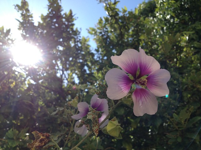 Seaside tree mallow (Malvaceae, Lavatera maritima)