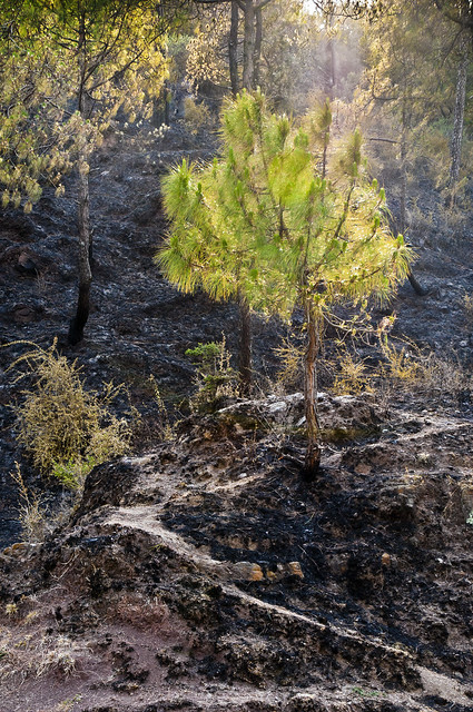 A Young Pine Tree stands tall and green in the midst of the fire ravaged hillside - More Fires in the Himalayas - Dagshai HIlls photo photography Anoop Negi