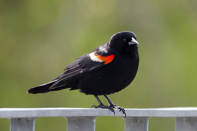 _DSC3747 Red-winged Blackbird (m)