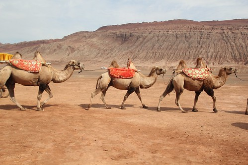 Camels for hire at the Flaming Mountain outside of Turpan - Xinjiang, Chna