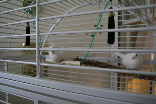 Sweet dove couple