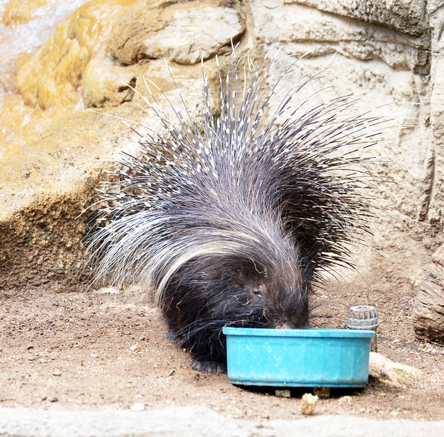 Porcupine Lunchtime